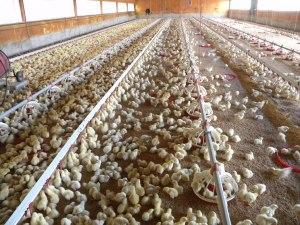 La producción masiva de alimento, es la mejor forma de entender la deshumanización del hombre moderno.