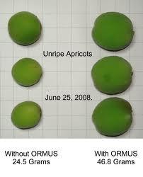 Albaricoques tratados con ORMUS.